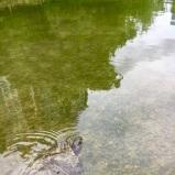 Turtle-Buffalo-Bayou