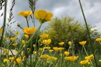 Buttercup field against an overcast sky