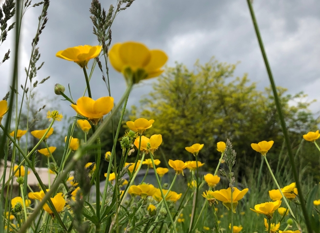 Buttercup field against an overcast sky